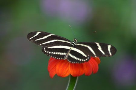 The butterfly and dragonfly diversity in the valley is astounding and we may run into such living gems as this Zebra Longwing...