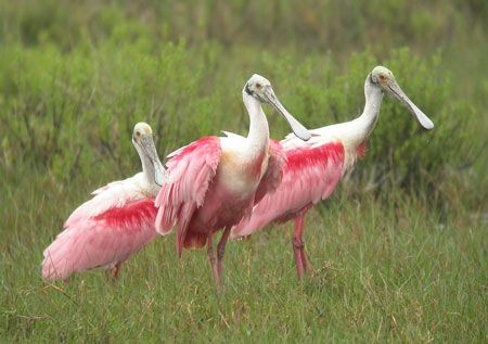 Our trip to South Texas will include visits to varied habitats. On the coast we'll encounter birds such as Roseate Spoonbills... (mo)