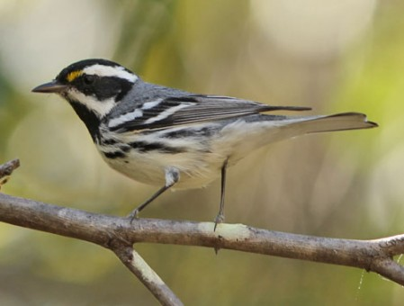 Black-throated Gray Warbler is a common winter bird in southern Baja California.