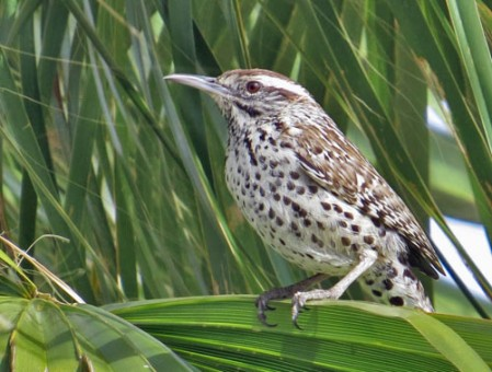 The Cactus Wrens of the Cape Region look quite different from birds of the SW United States.