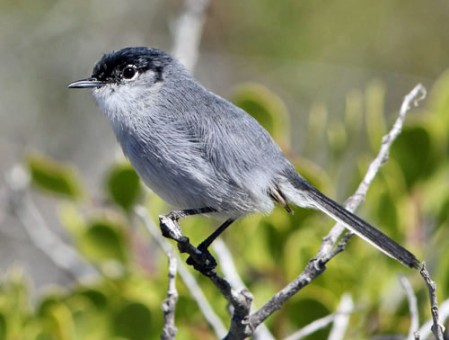 California Gnatcatcher is a common resident of the open deserts of Baja California.