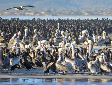 Our morning of Bahia Magdalena isn't just for whales – enormous numbers of cormorants and pelicans also call this home.