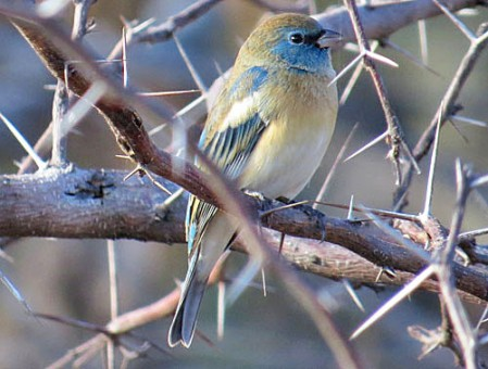 A male Lazuli Bunting begins to show his spring colors in the late winter.