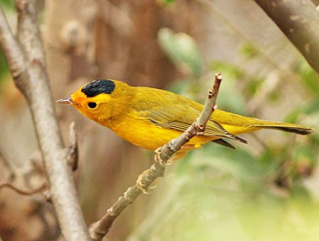 A common winter bird in Baja California is the Wilson's Warbler of the western subspecies showing a rich cadmium forehead and lores.