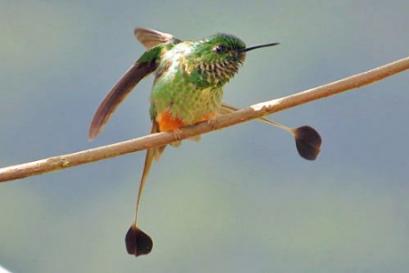 The Bolivian endemic subspecies of Booted Racket-tail, known as Adda's Racket-tail is a potential split.
