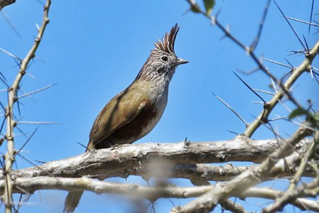 The Crested Gallito is a secretive, mostly ground-dwelling tapaculo found in the Chaco region of southern Bolivia.