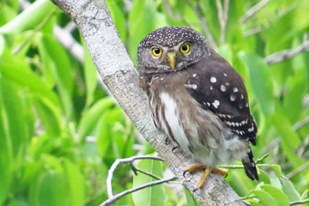 The exceedingly scarce and local Subtropical Pygmy-Owl is a distinct possibility during our stay at Refugio Los Volcanes.