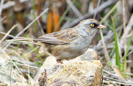 One of the most range-restricted birds in the Talamanca Highlands is the Volcano Junco.
