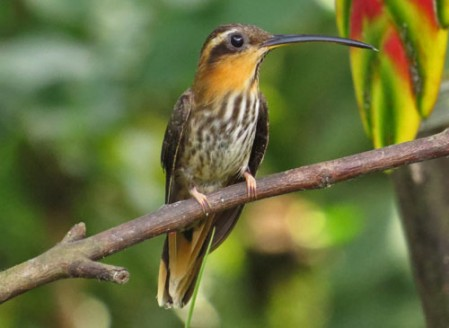 The unusual Saw-billed Hermit is endemic to Southeastern Brazil.