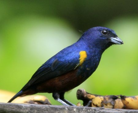 ...Chestnut-bellied Euphonia...