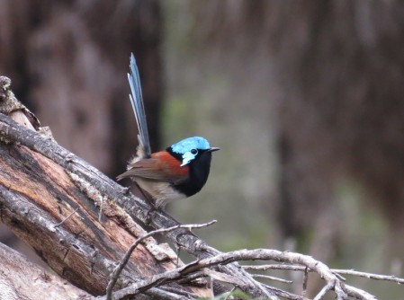 the gaudy Red-winged Fairywren and
