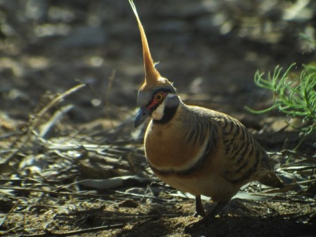 Spinifex Pigeons.