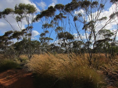 One day we'll venture to the east to reach a section of open mallee forest,