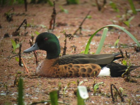 and a selection of waterfowl like this handsome Chestnut Teal inhabit the park lakes.