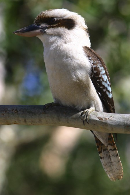 We'll start out around Perth, where Laughing Kookaburras now ply the city parks,