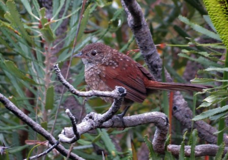 where we'll seek some very special species such as Western Bristlebird,