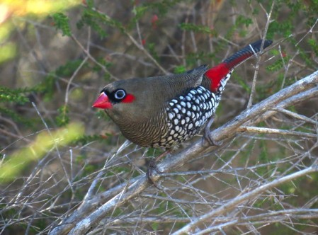 Enroute back to Perth we'll stop along the way for birds like Red-eared Firetail,