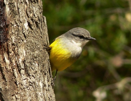 Traveling inland into the drier forests we'll be investigated by curious Western Yellow Robins,