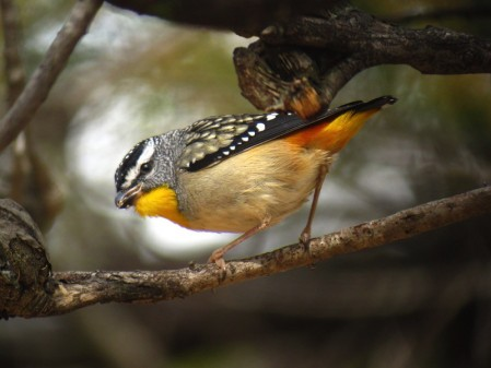 and look for some more widespread but spectacular species like this Spotted Pardalote.
