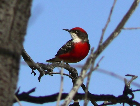 and Crimson Chat joining the resident
