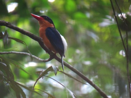 and (as this is the wet season) the stunning Buff-breasted Paradise Kingfisher.