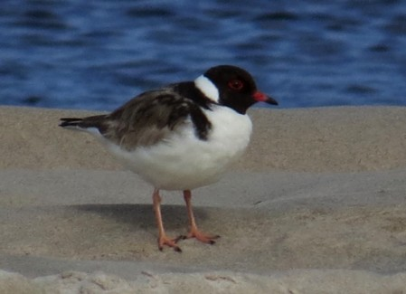 and the dramatic Hooded Plover.