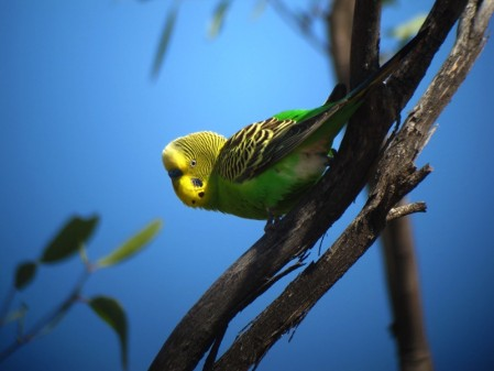 The birdlife here is completely different than the southwest, with nomadic species like Budgerigar,