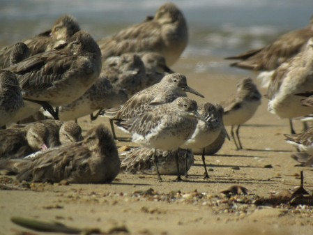 Once back in Cairns we'll likely stop by the esplanade for a last look at the hordes of waders that winter there.