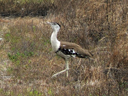 In the drier savanna's north of the Tablelands we should encounter Australian Bustard tucked in the higher grass, and