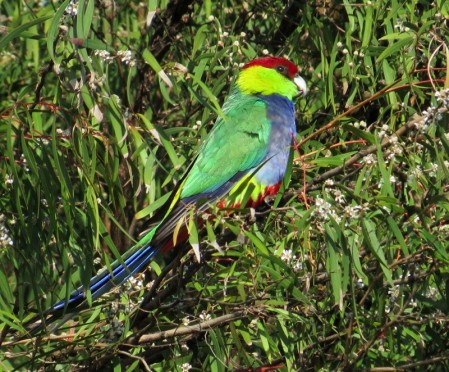 and the dazzling Red-capped Parrot.