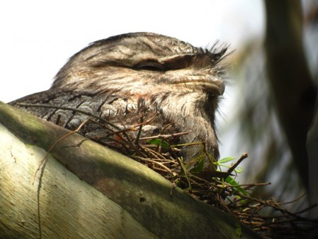It always pays to look up carefully, as a Tawny Frogmouth could be just overhead.