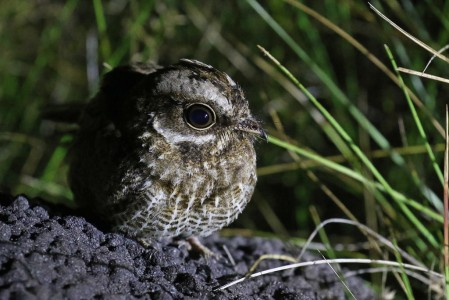 One of the star birds on this tour is the remarkable range-restricted White-winged Nightjar.