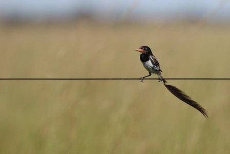 ...but an even more bizarre resident of these grasslands is the entertaining Strange-tailed Tyrant.