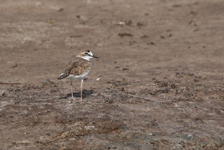 …and can hold many Collared Plovers as well as...