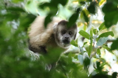 …and Hooded Capuchins keep a beady eye on us.