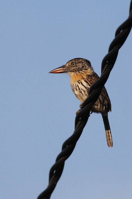 ...the recently split Chaco Puffbird, here perching sentinel-like, watching for prey.