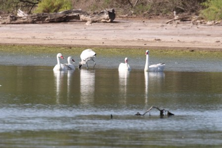 ...where Coscoroba Swans and Wood Storks are joined by...