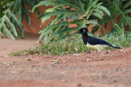 ...and the dapper Plush-crested Jay.