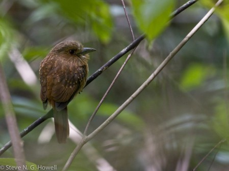 We may find the inconspicuous White-whiskered Puffbird sitting quietly beside a trail,