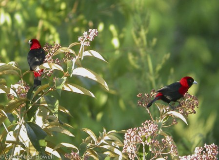 As well as non-North American species, such as the stunning Crimson-collared Tanager,