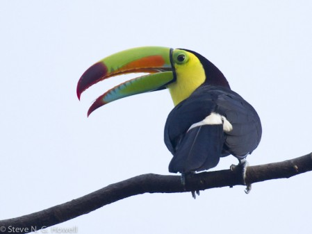 ...to the unavoidably colorful Keel-billed Toucan.