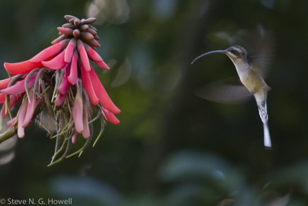 Or enjoy a flashing view of the Long-billed (formerly Long-tailed) Hermit stopping to inspect a brilliant blossom.