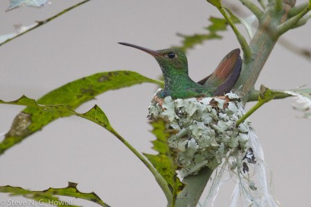 Although a Rufous-tailed Hummingbird nesting outside your cabin may distract you from sleep,