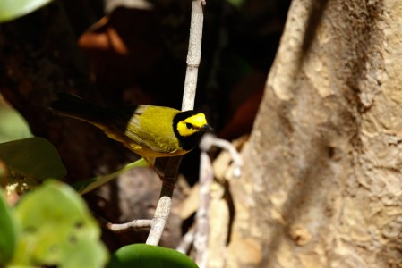 ... with many wintering North American migrants around the cabins, such as Hooded Warbler...