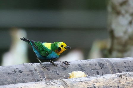 ...as well as superb tanagers like Multicolored Tanager, another endemic to the Choco.