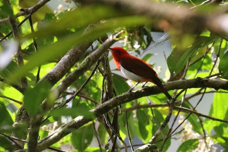 ...the flashy Scarlet-and-white Tanager...