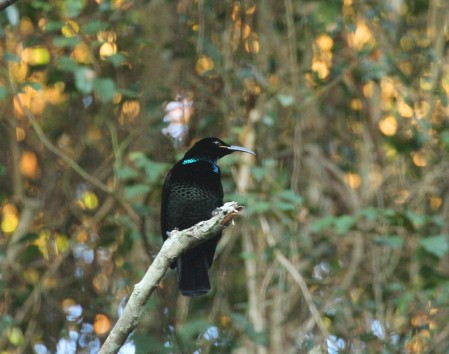 We'll look for more scarce and retiring species like this Paradise Riflebird as well
