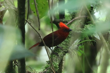 The number of fantastic birds is endless, for example Crested Ant-Tanager is fairly common among the Anchicaya road,...