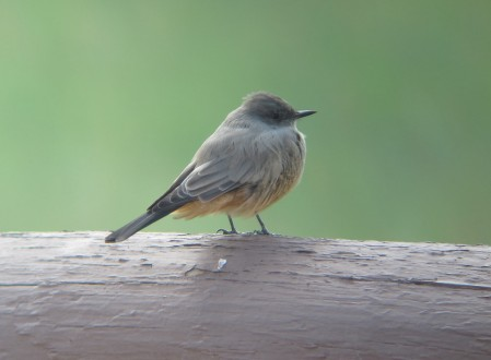 … and Say's Phoebe.