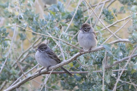 ......that offer respite for migrant birds such as Brewer's Sparrow... (wr)